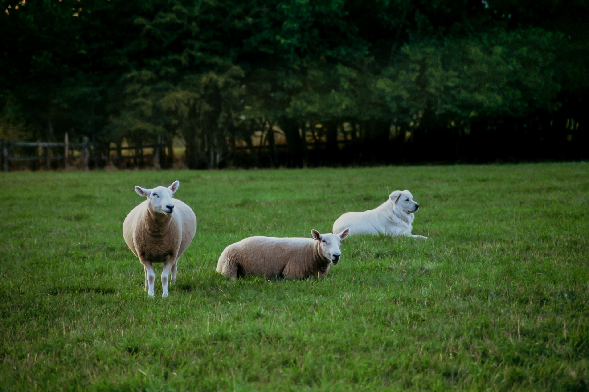 Buck-and-2-ewes.png