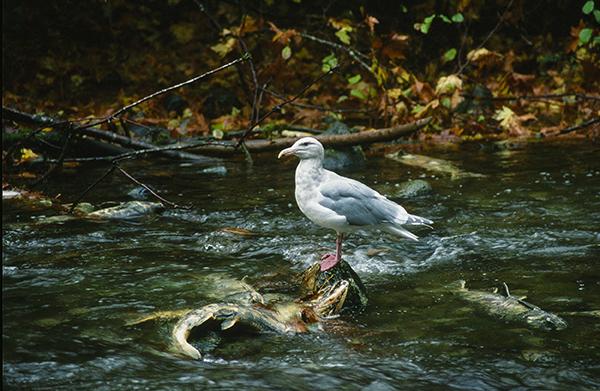 Salmon Spawning Stream