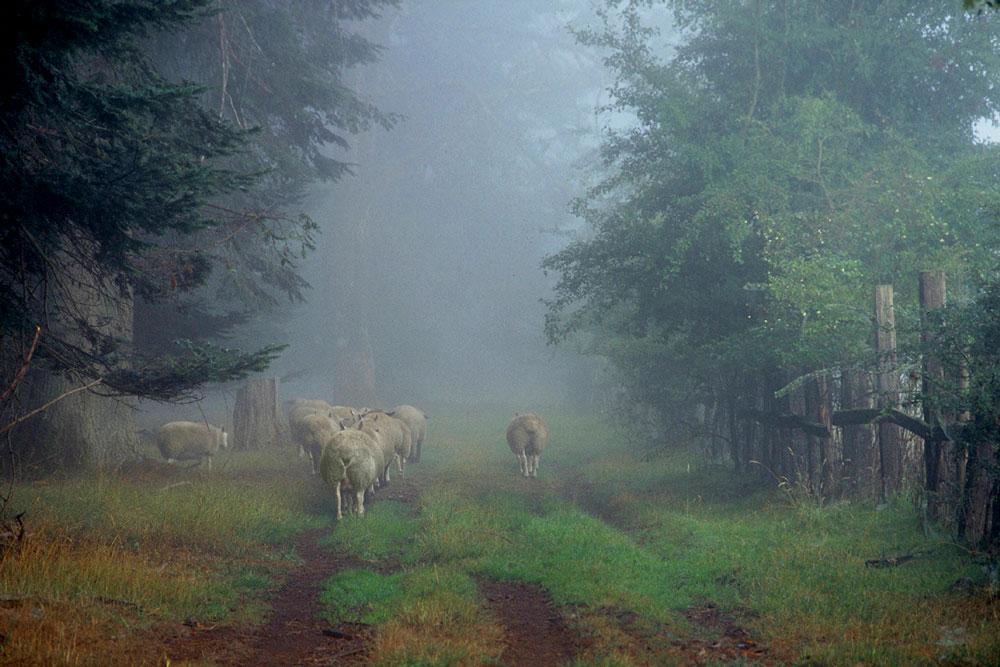 Lambs on lane-RKS9_small.jpg