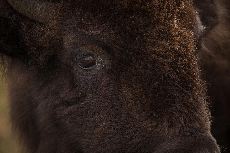 Bison-0764.jpg