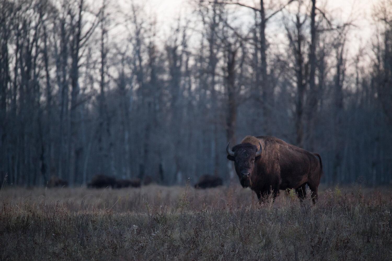 Bison-0841.jpg