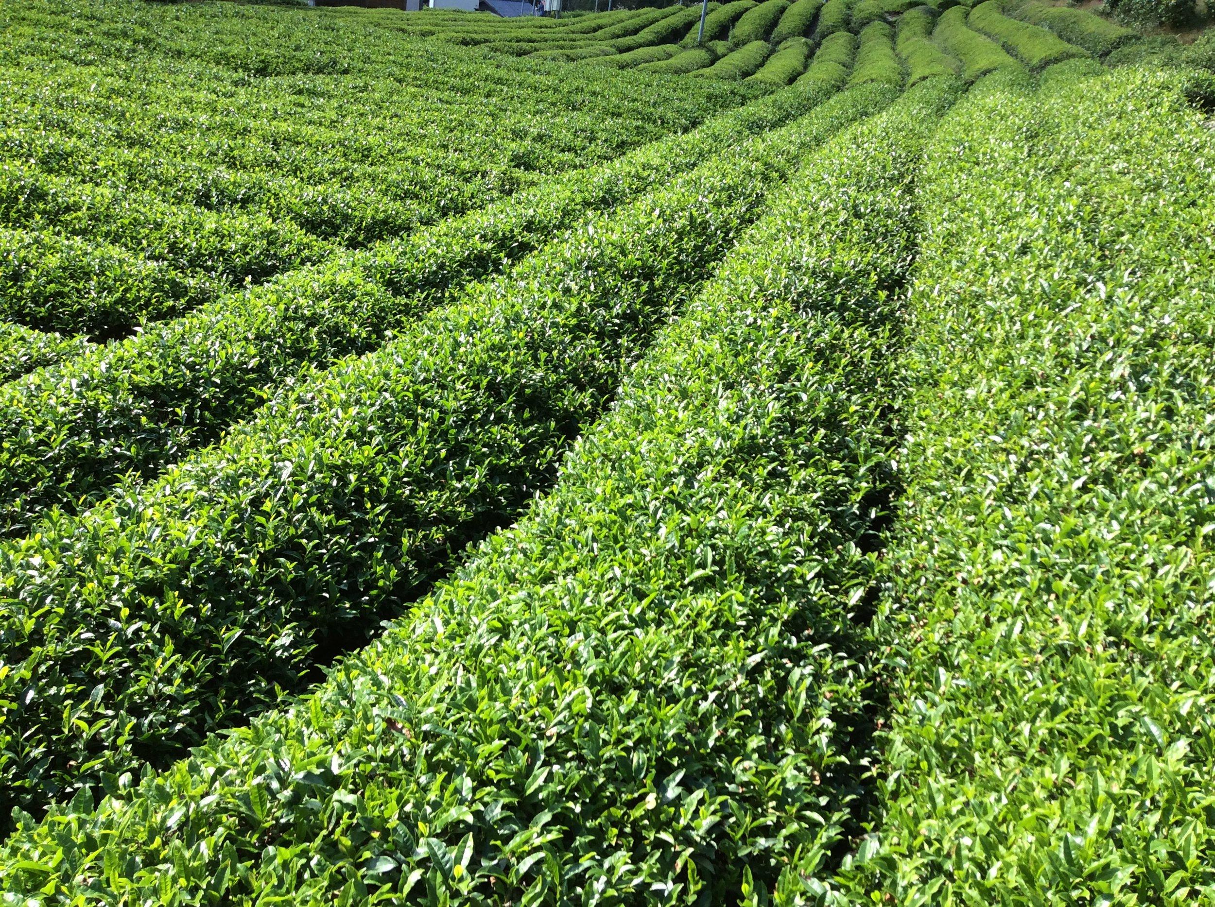 organic Yin Winter Green, Hojicha, and Genmai Cha is grown here