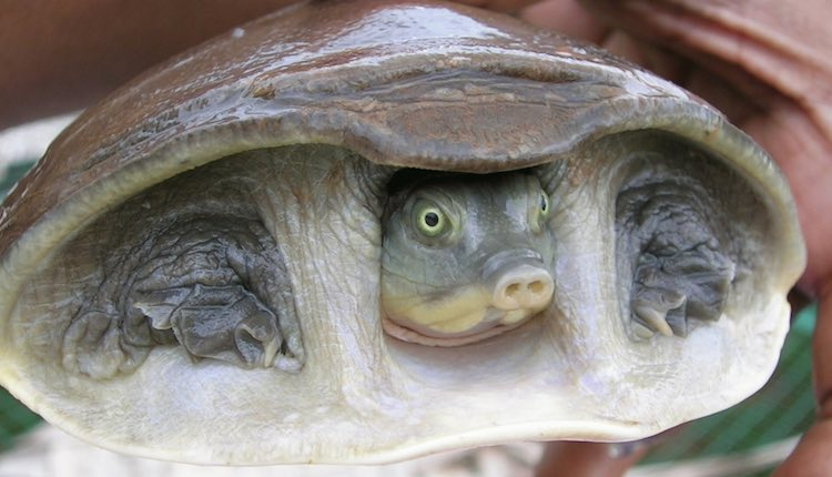 And apparently this turtle/pig hybrid