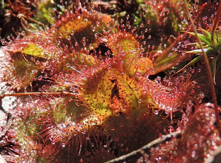 Close up Scented sundew leaves .png