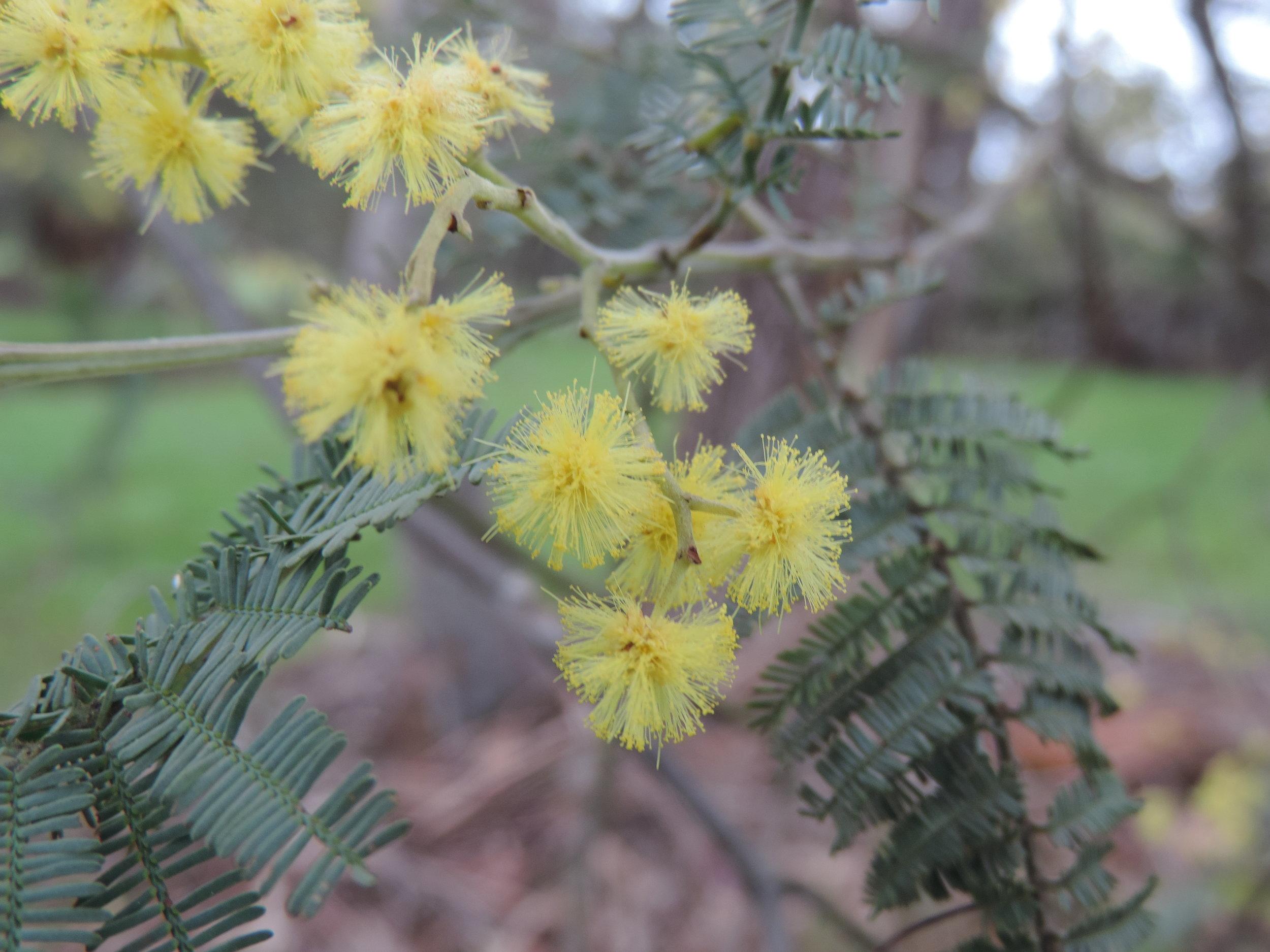 Silver wattle Acacia dealbata.JPG