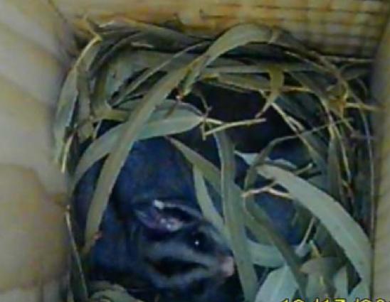 Sugar Glider in nest box .png