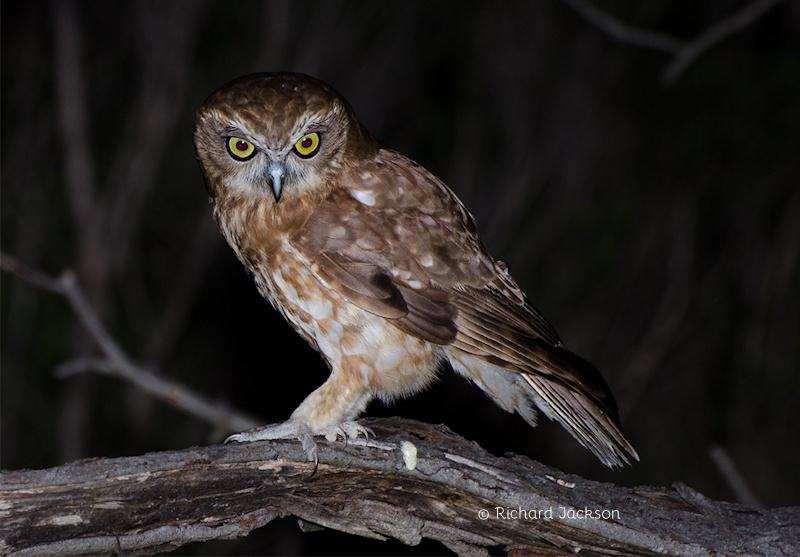 Boobook Owl Photo Richard Jackson .jpg