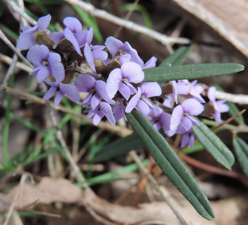 Hovea large .png