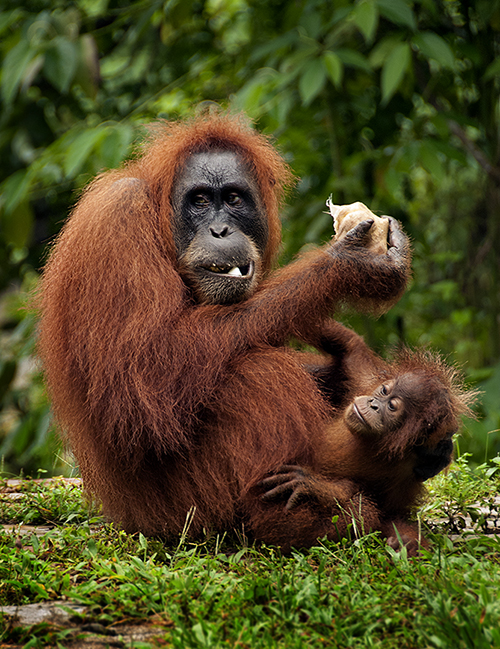 Young mother Orangutan