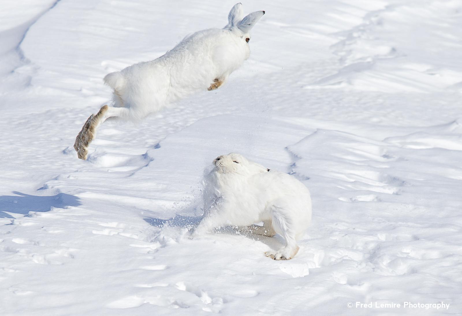 Arctic Hare 2