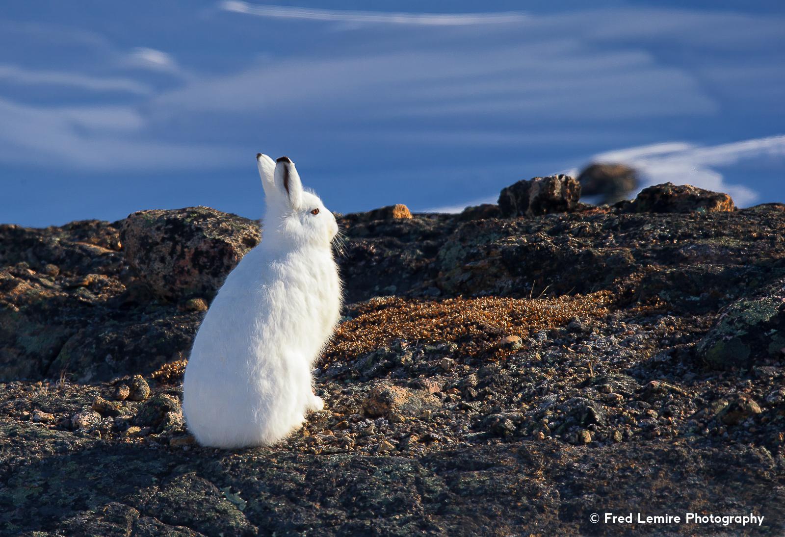 Arctic Hare 1