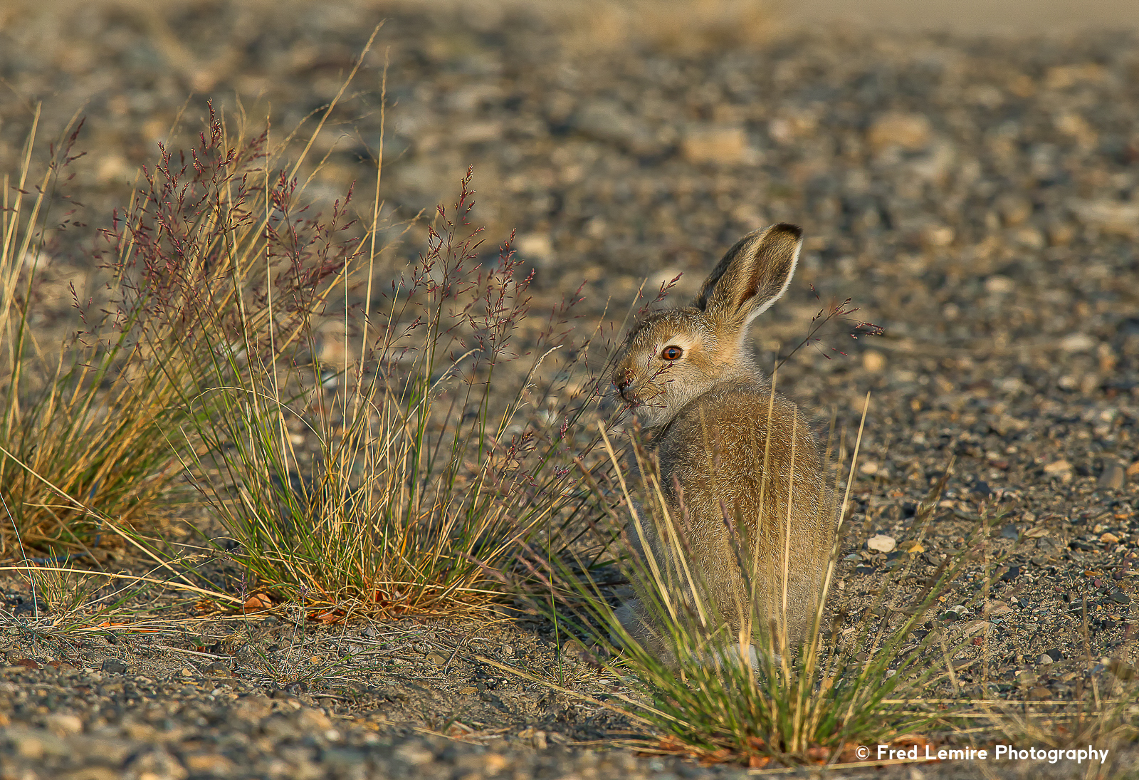 Arctic Hare 4