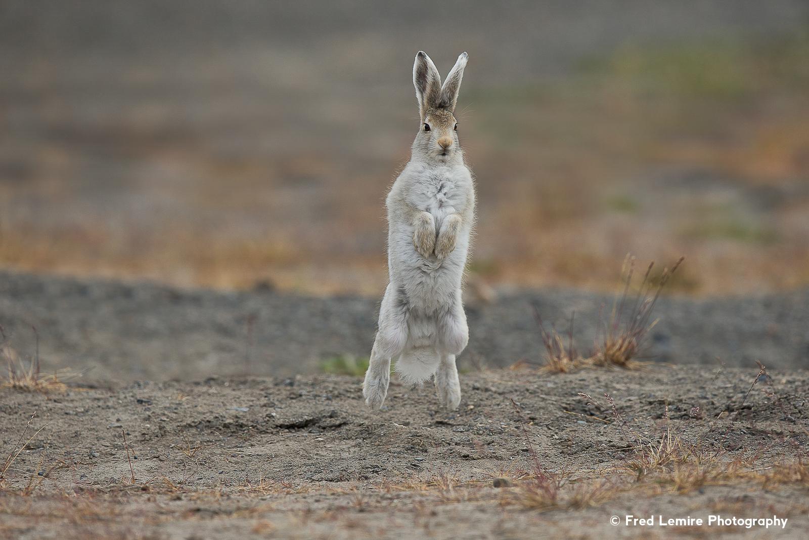 Arctic Hare 8