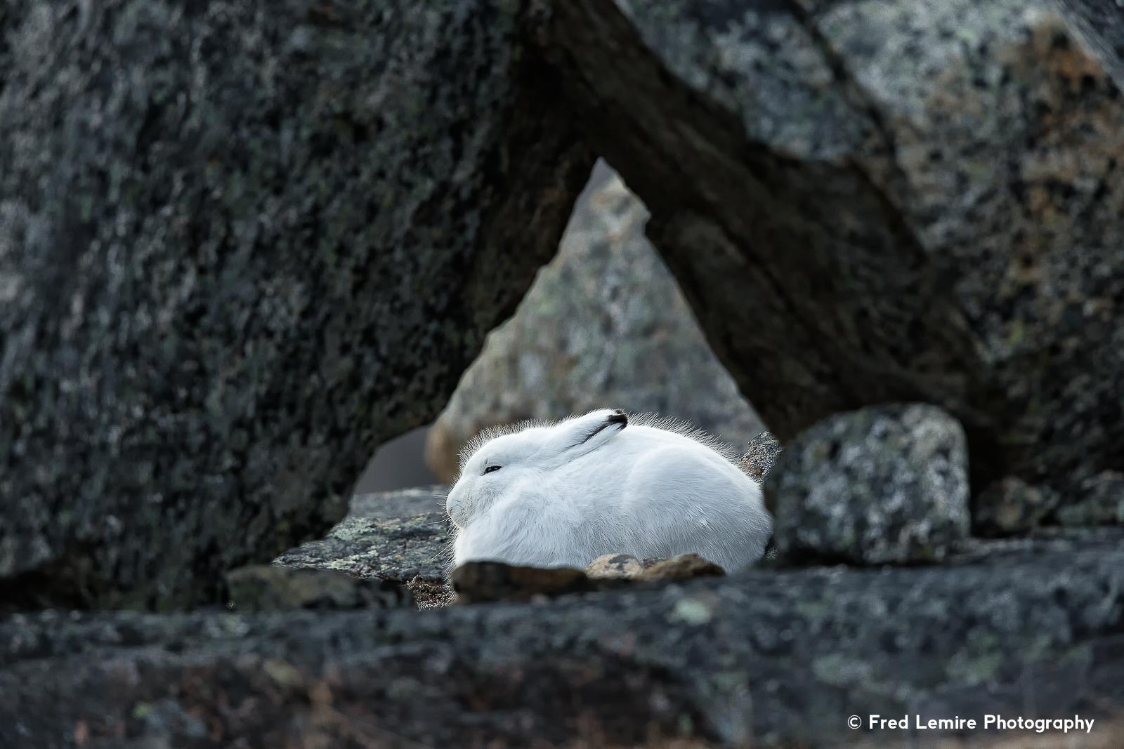 Arctic Hare 9