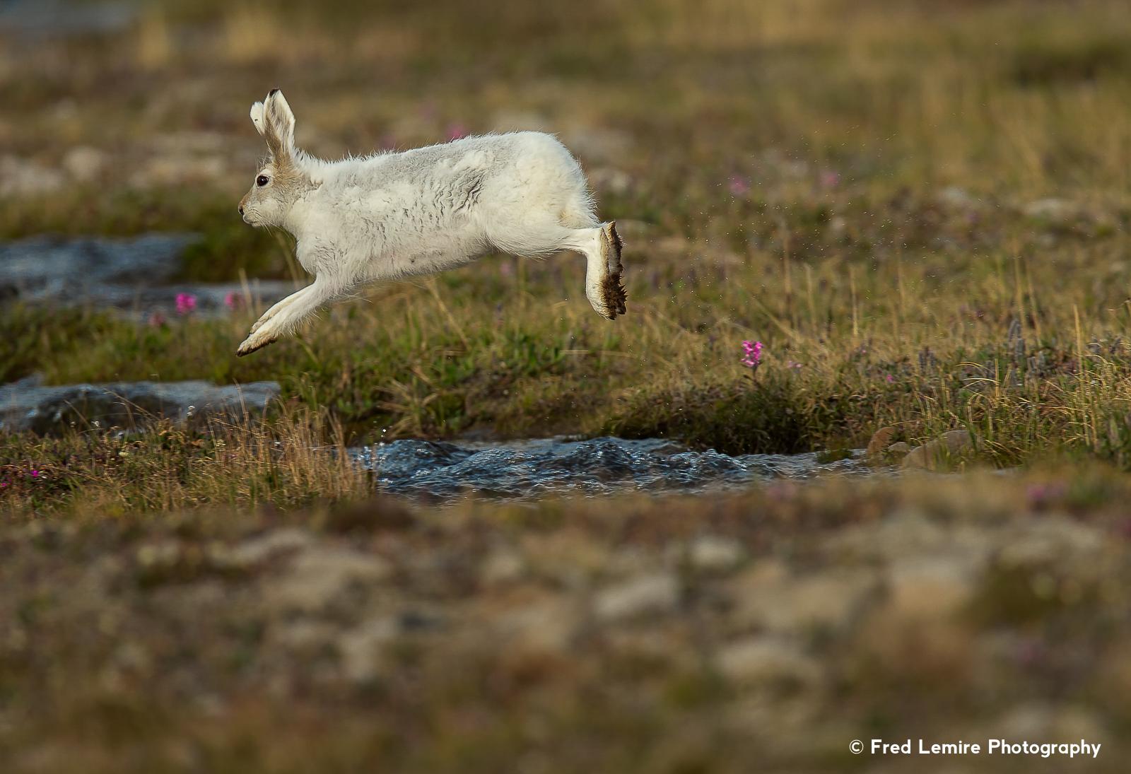 Arctic Hare 13