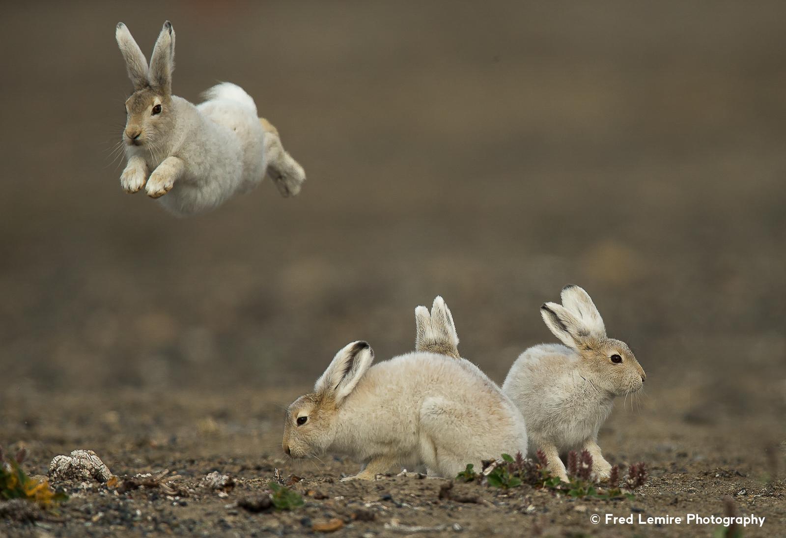 Arctic Hare 17