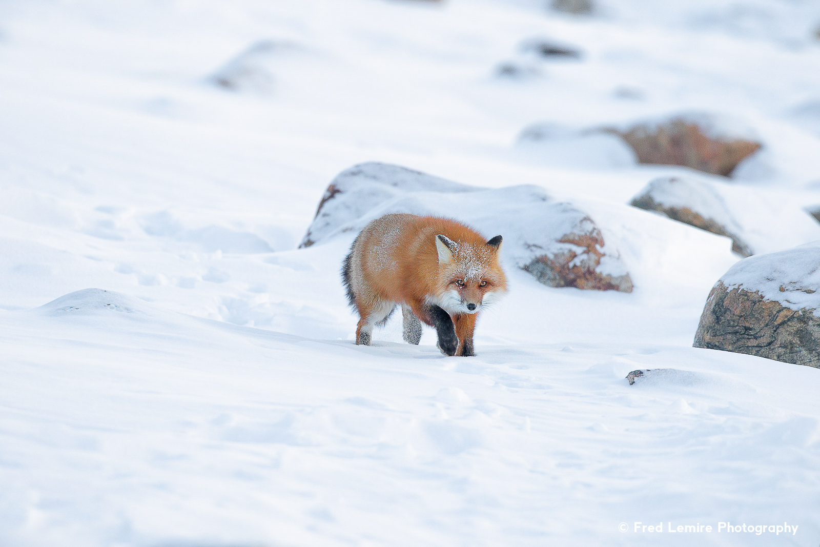 Foxes 1