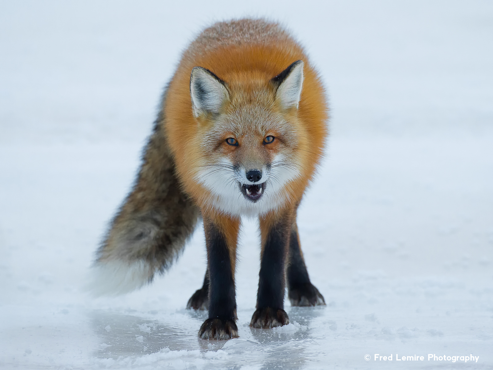 Foxes 6