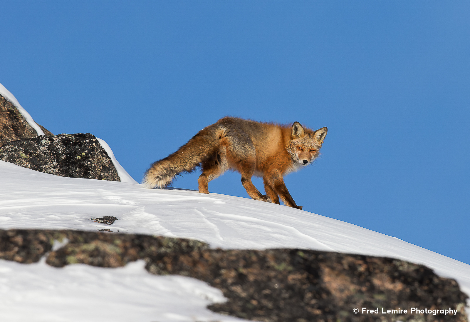 Foxes 13
