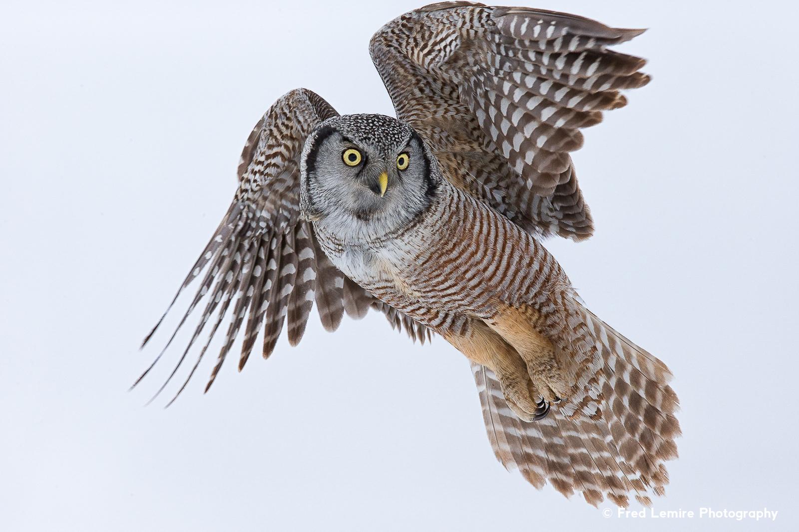 Owls 4
