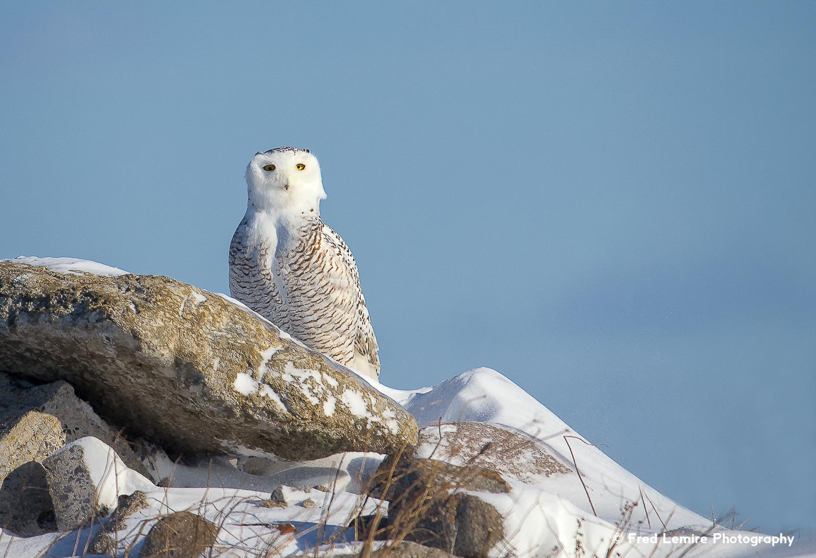 Owls 18
