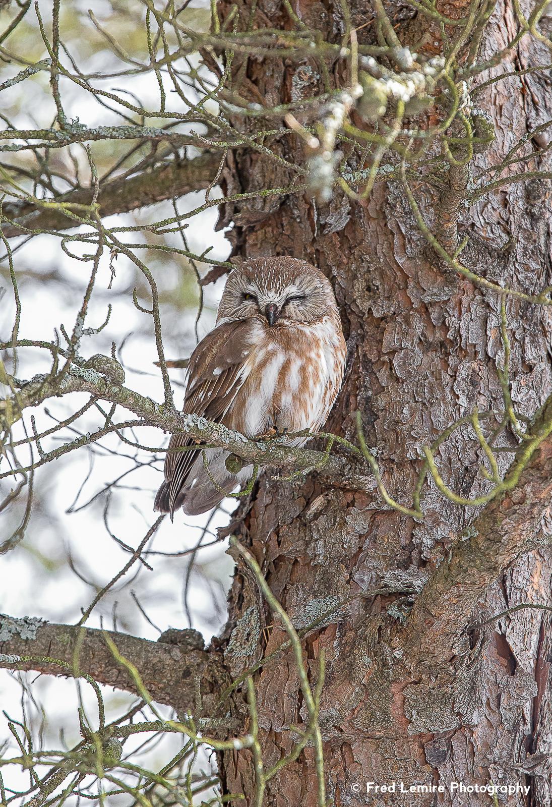 Owls 20