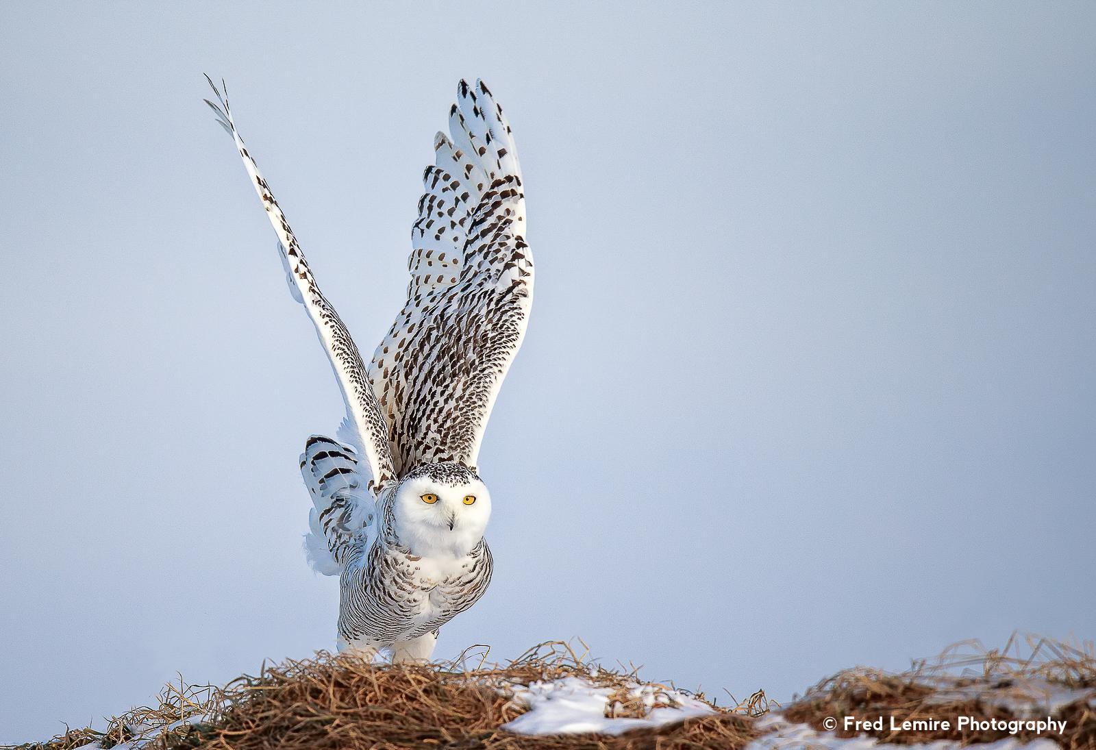 Owls 26