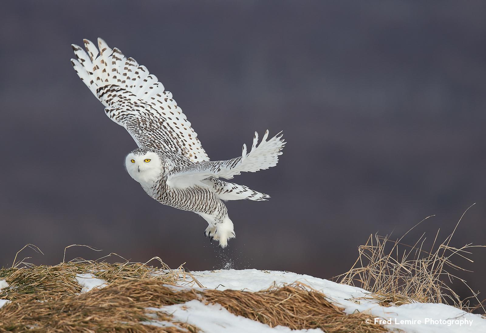 Owls 29