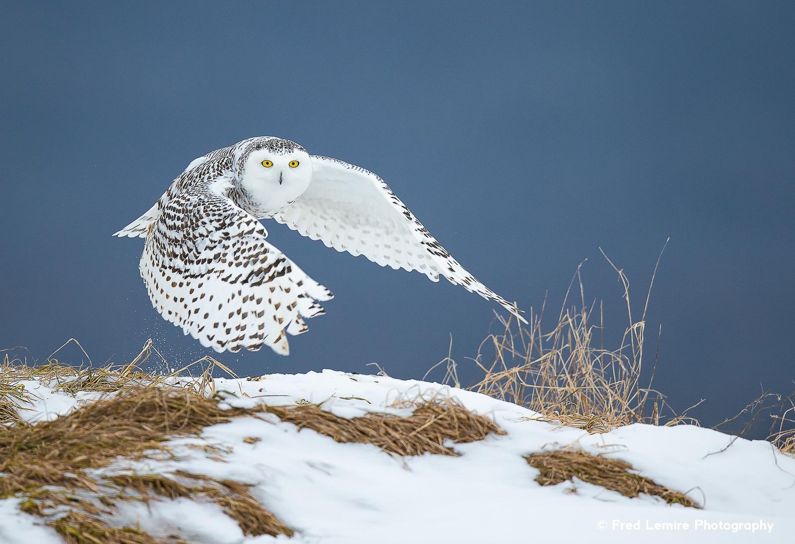 Owls 28
