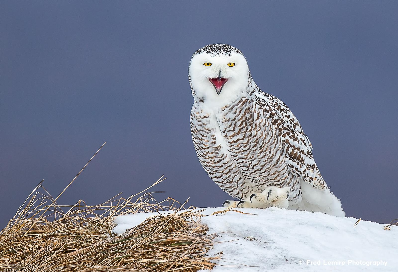 Owls 30
