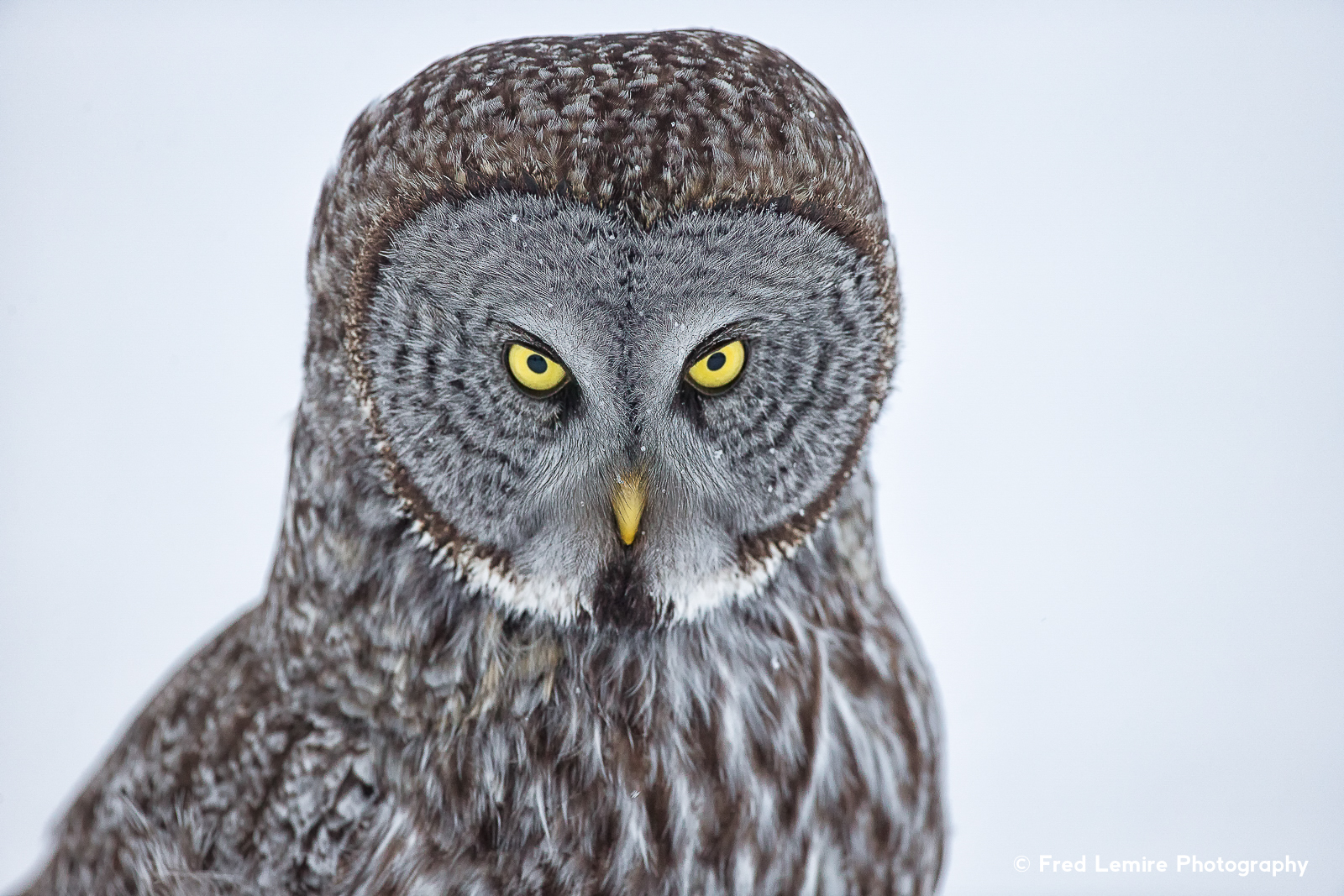 Fred Lemire Photography-owls-220.jpg