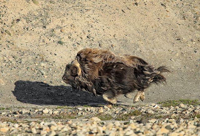 Muskox Arctic Canada Canon 1DX 600mm 1/3200s@f/5.6 ISO 400 www.fredlemirephotography.com #wildlifephotography #arctic #muskoxen #natgoyourshot #cangeo #canonphoto #shotoncanon #nunavuttourism #nunavut @canoncanada@cangeo@nunavuttourism#canada#igscwildlife