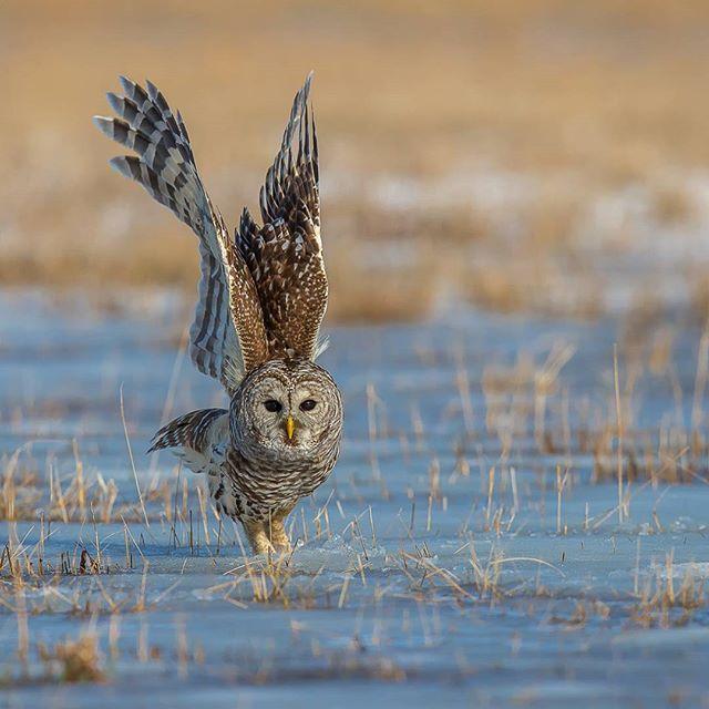 Barred owl Amherst island Canada Canon 1DX MKII 600mm 1/3200 @ f/5.0 ISO 400 www.fredlemirephotography.com #prettybird #amherstisland #owl #winter #canoncanada @canoncanada #teamcanon #natgeo @natgeoyourshot #cangeo @cangeo #canada #wild #wildlifephotography #shotoncanon#natgeoit
