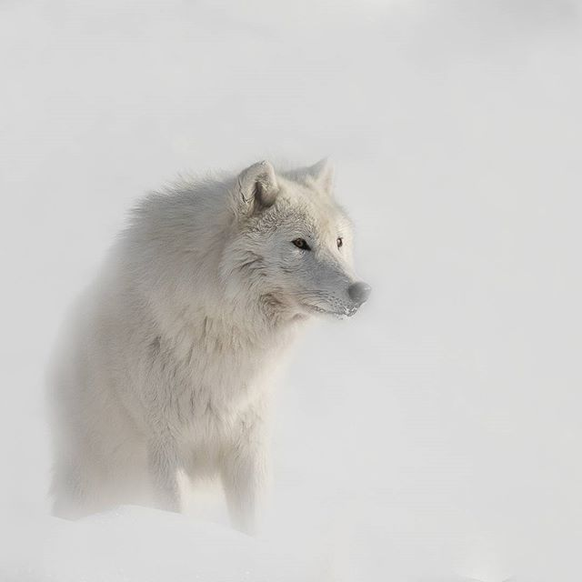 Arctic Wolf Canada Canon 1DX 1/3200 @f/5.6 ISO 400 www.fredlemirephotography.com #wolf #arctic #wind #snow #nunavuttourism #shotoncanon #teamcanon #canoncanada @canoncanada #natgeo @natgeo #cangeo @cangeo #wildlifephotography #igscwildlife#imagesofcanada