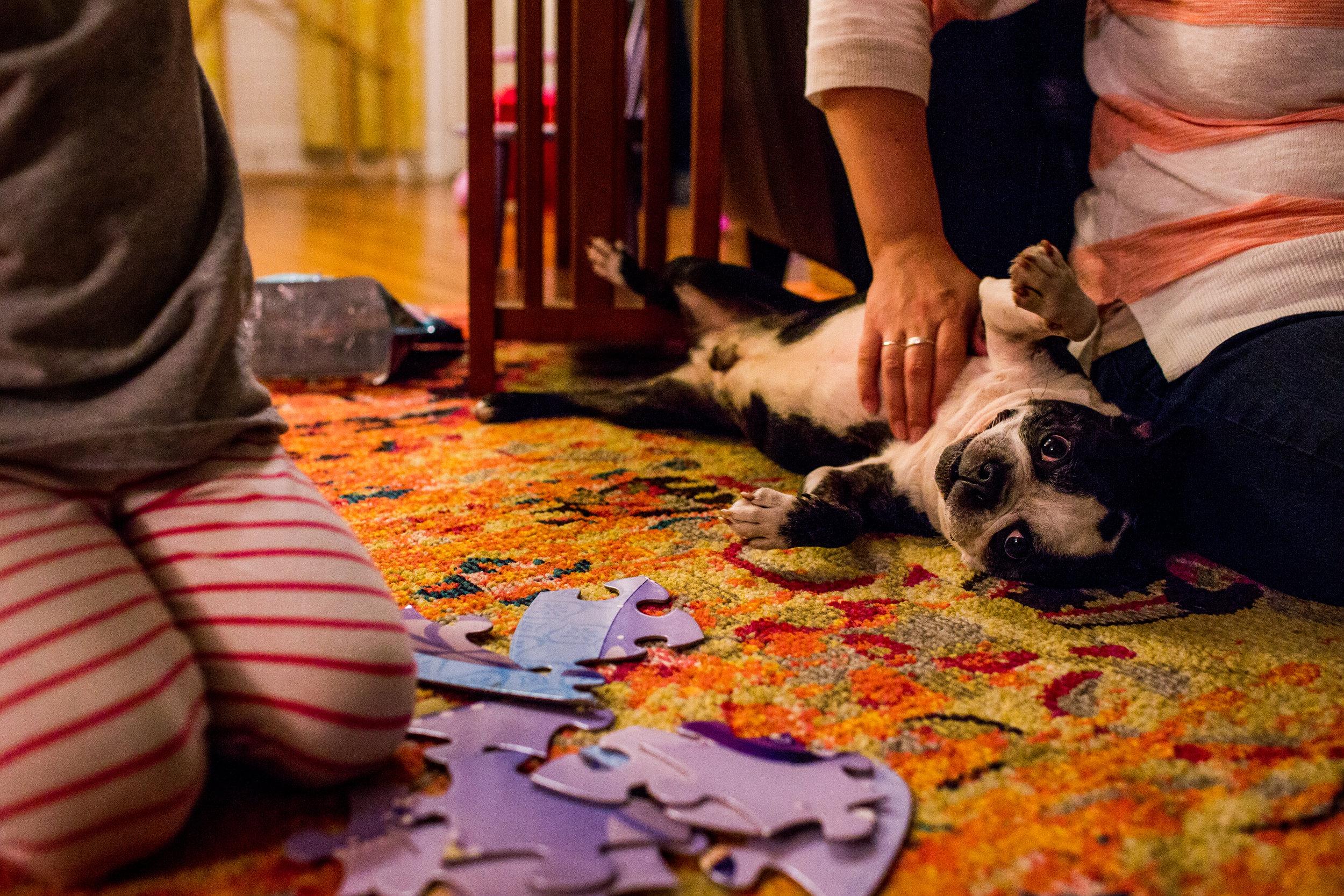boston terrier getting a belly rub