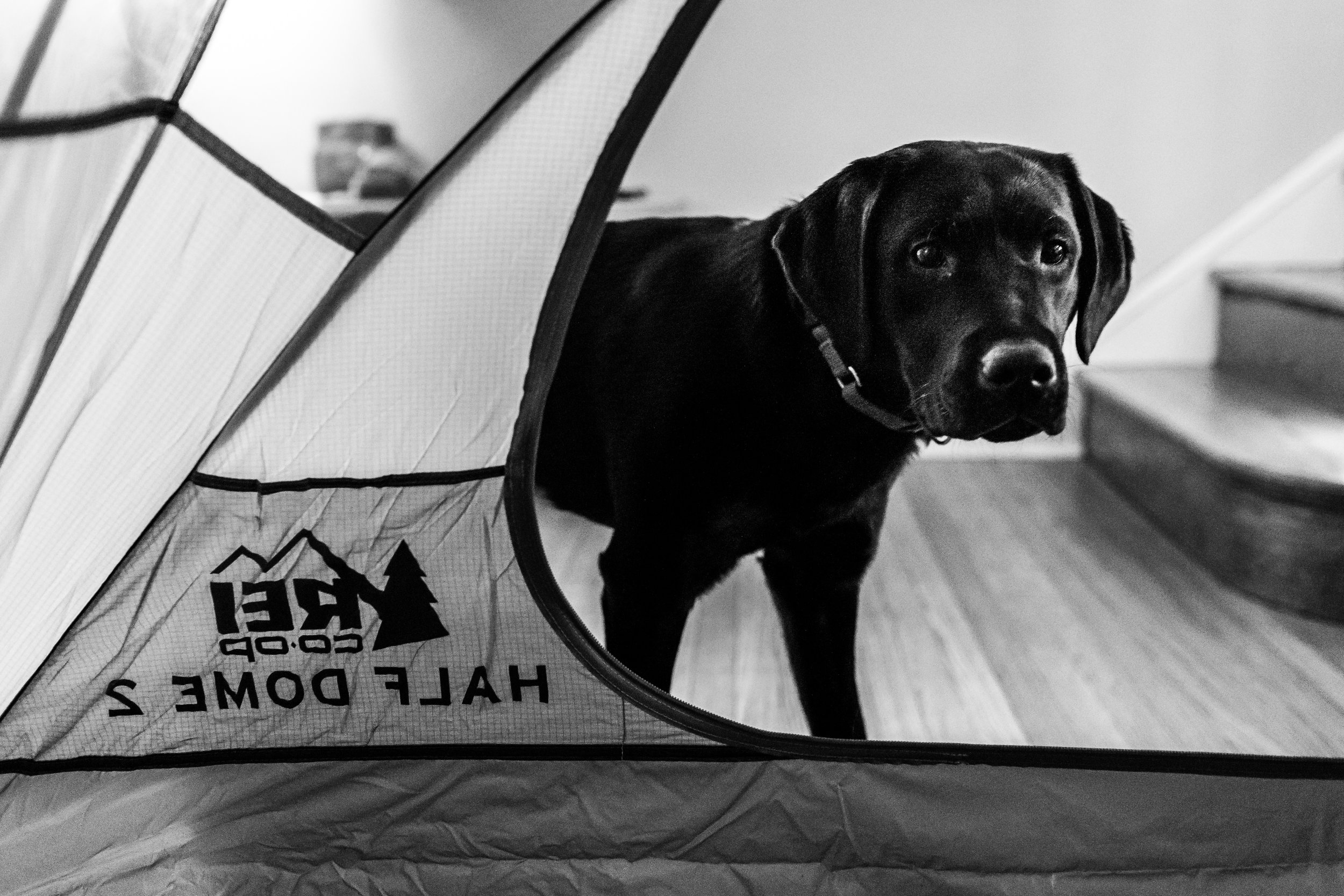 Black Lab puppy looking inside a tent.