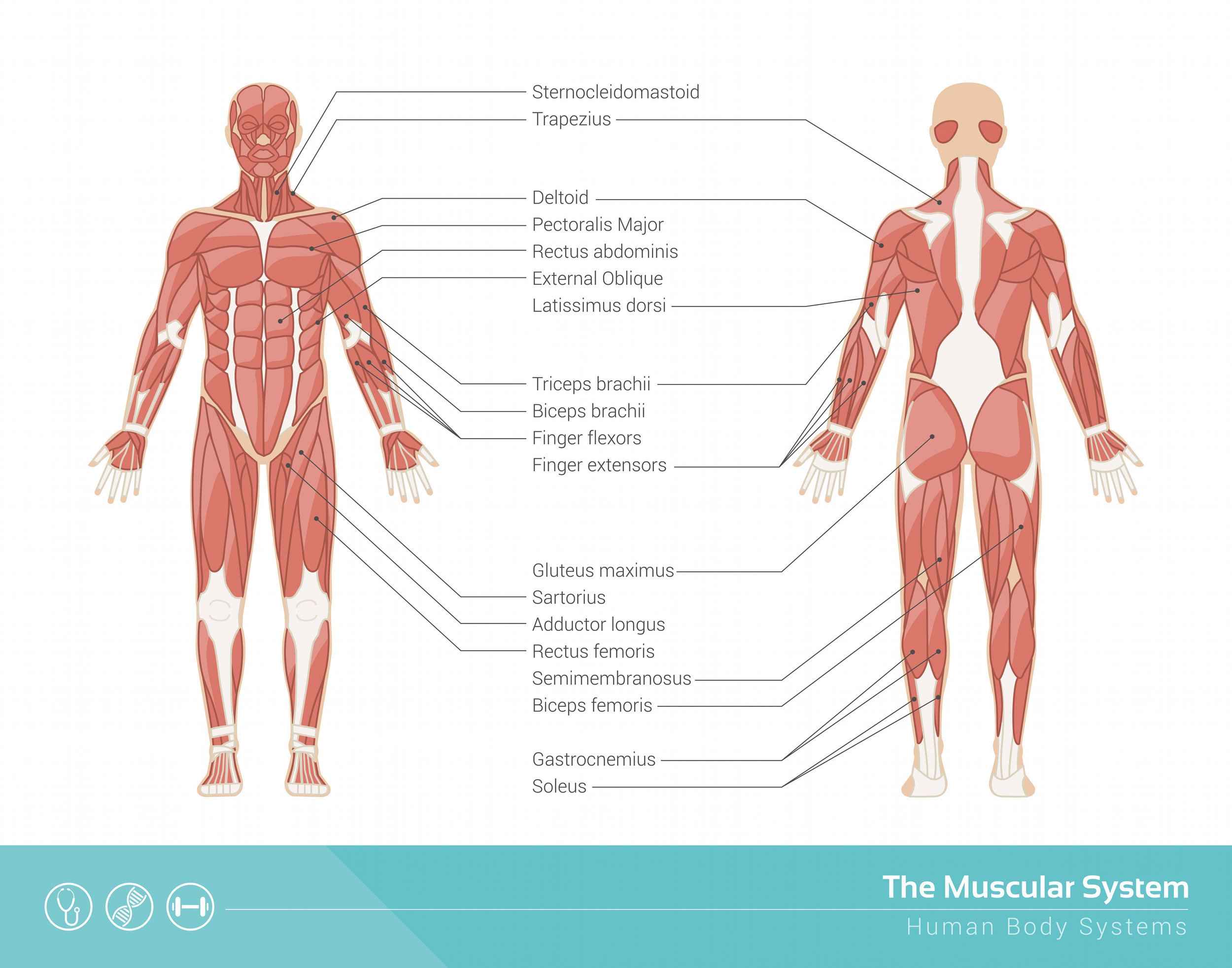 muscular system weight training.jpg