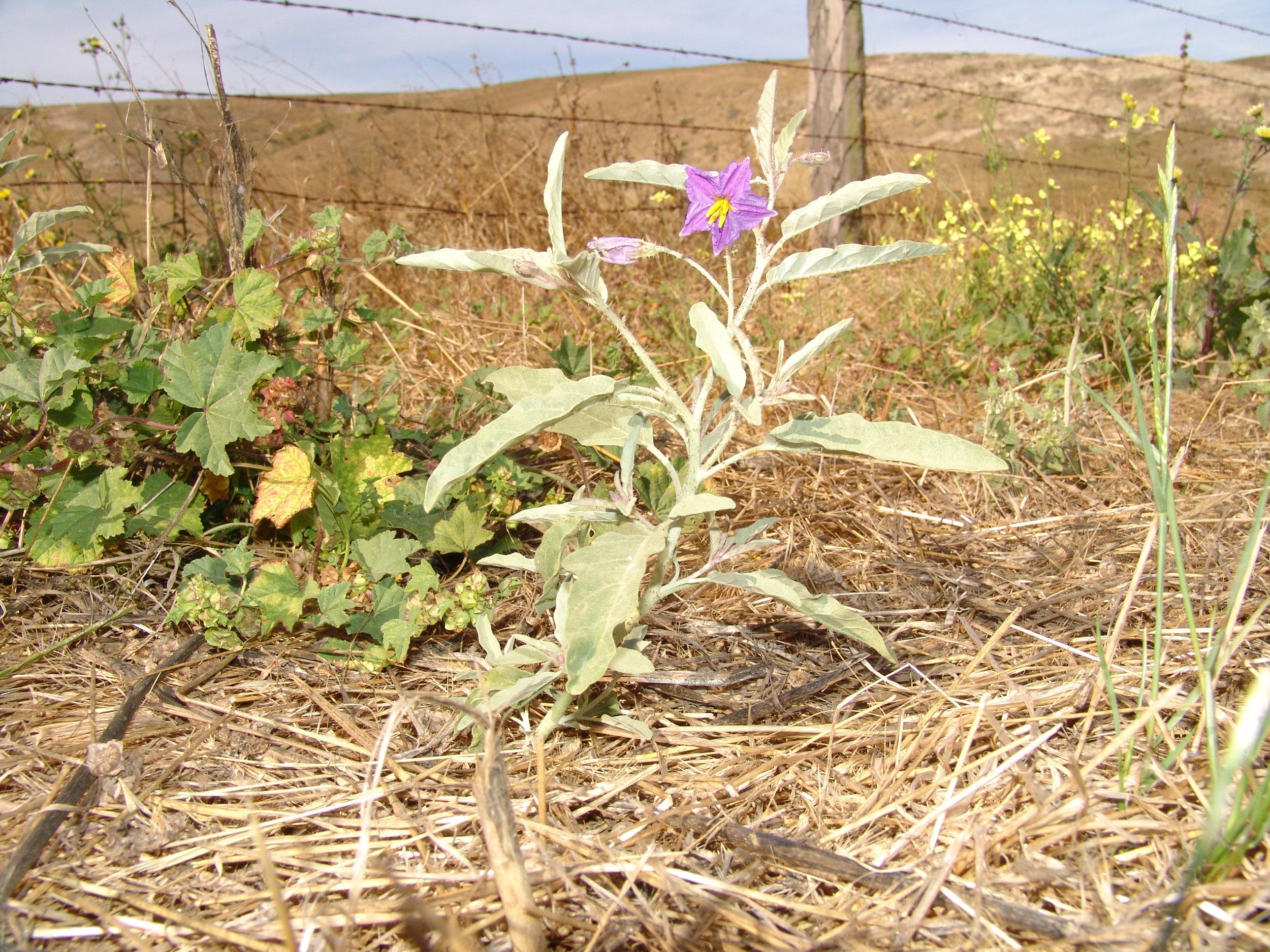 Silverleaf nightshade ( Solanum elaeagnifolium )