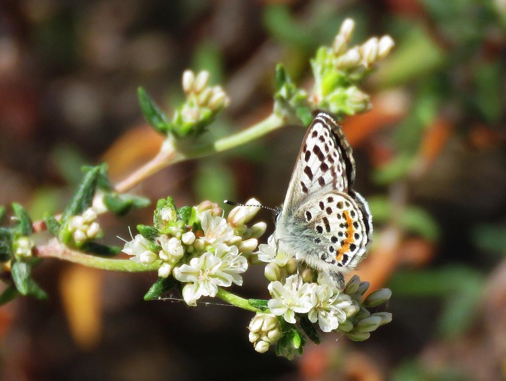 Photo of an El Segundo Blue Butterfly on Seacliff Buckwheat by Flickr user   Stonebird  .