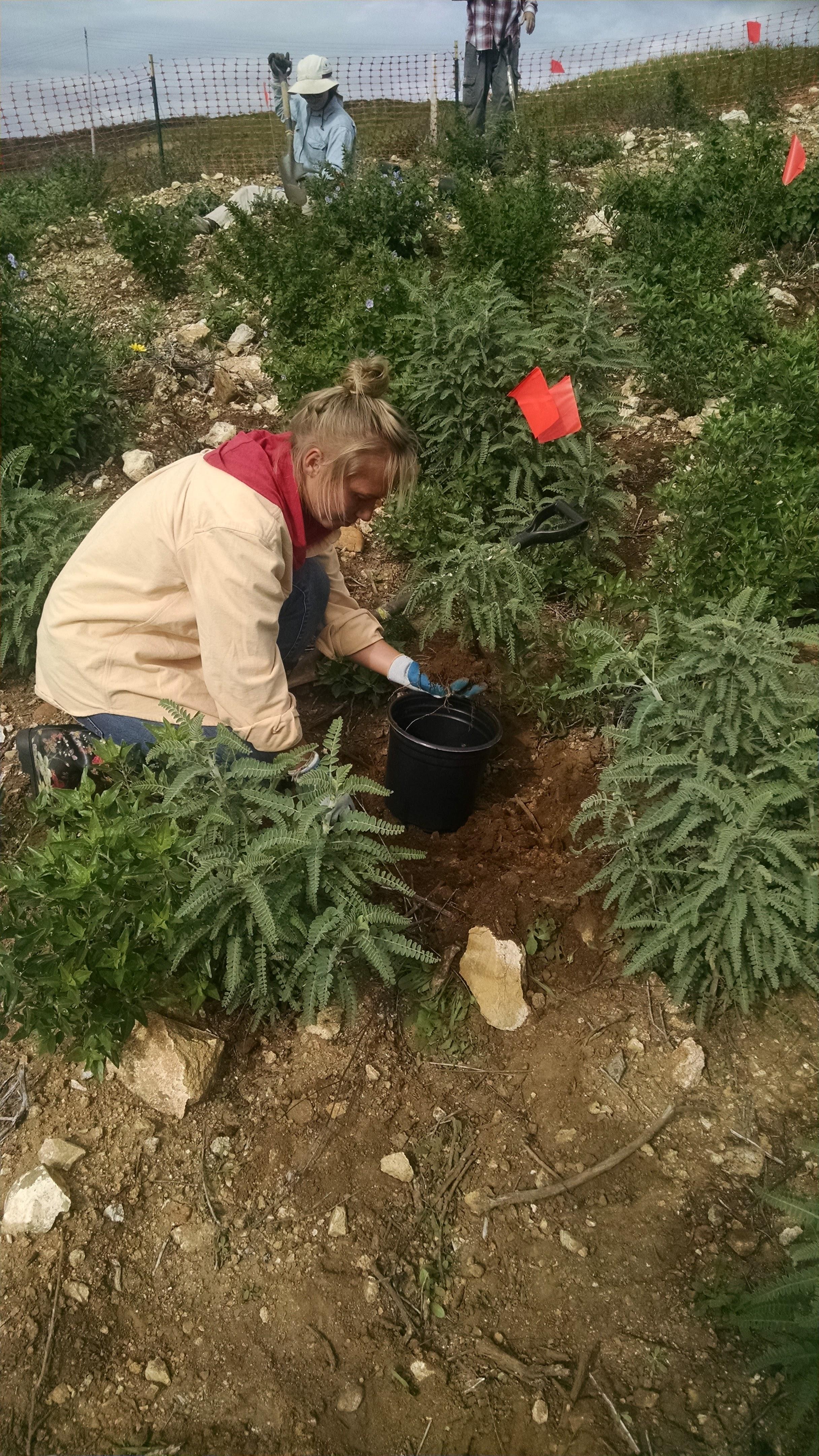 A CIR Field Technician installs the endangered plant.
