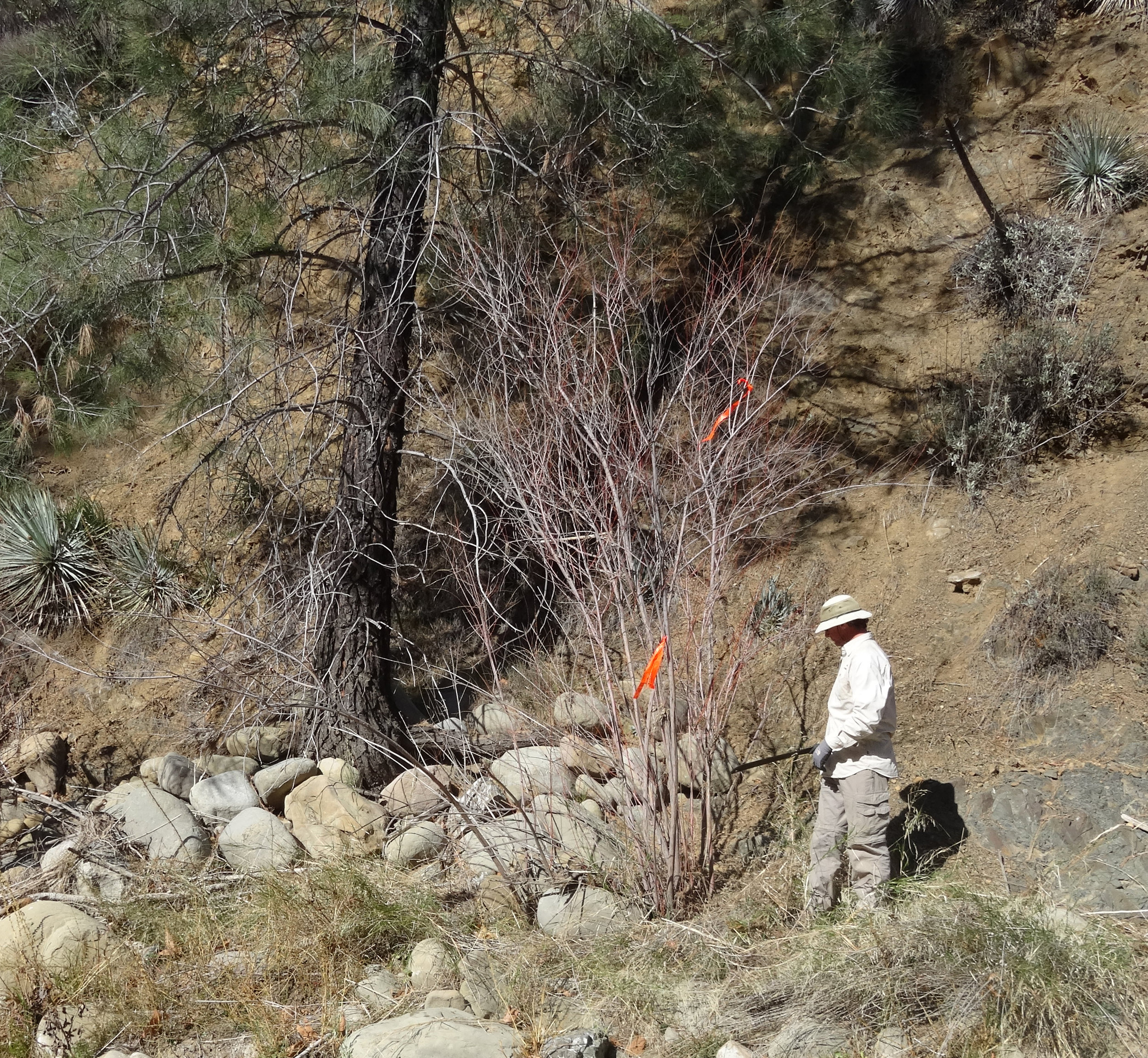 Adult tamarisk with a person for scale.