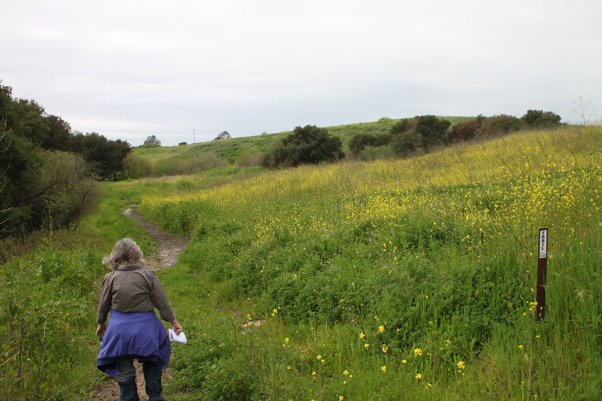 Large monocultures of black mustard are common throughout the San Marcos Foothills Preserve, crowding out native grasslands that so many of our native animals rely on,