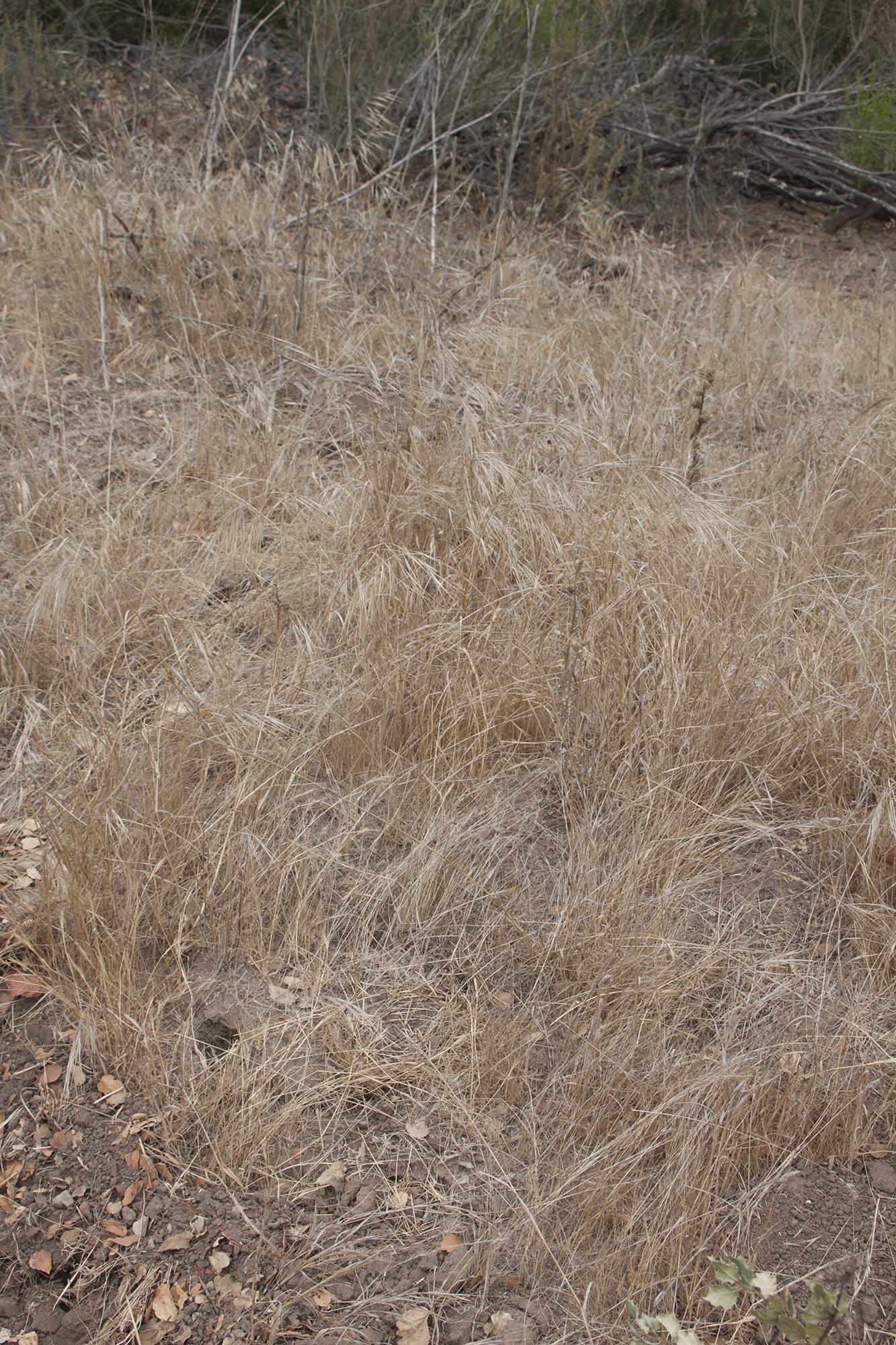 Bromus diandrus (summer)-02.jpg