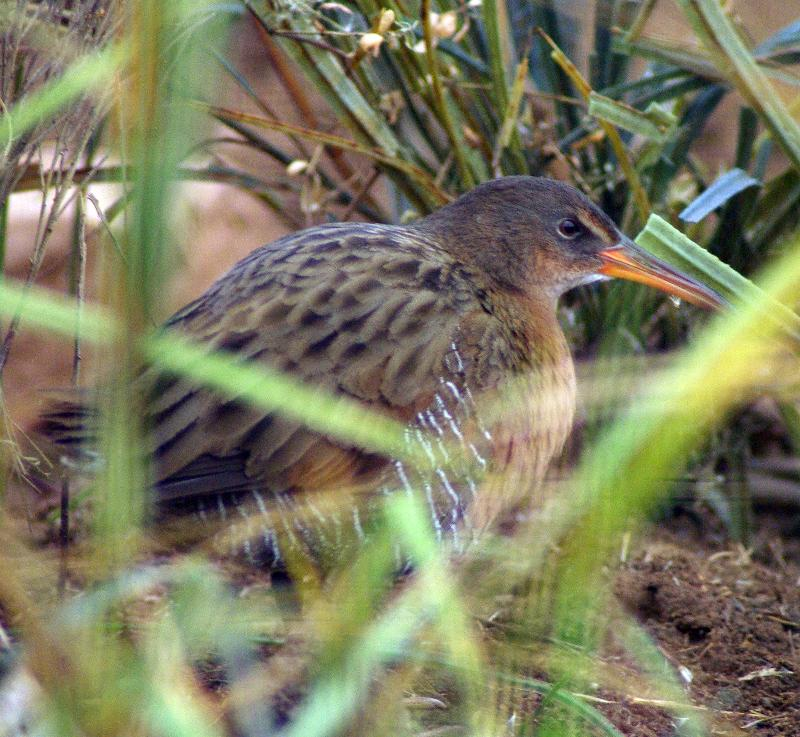 Light-footed clapper rail.  Pacific Southwest Region USFWS , Creative Commons License.