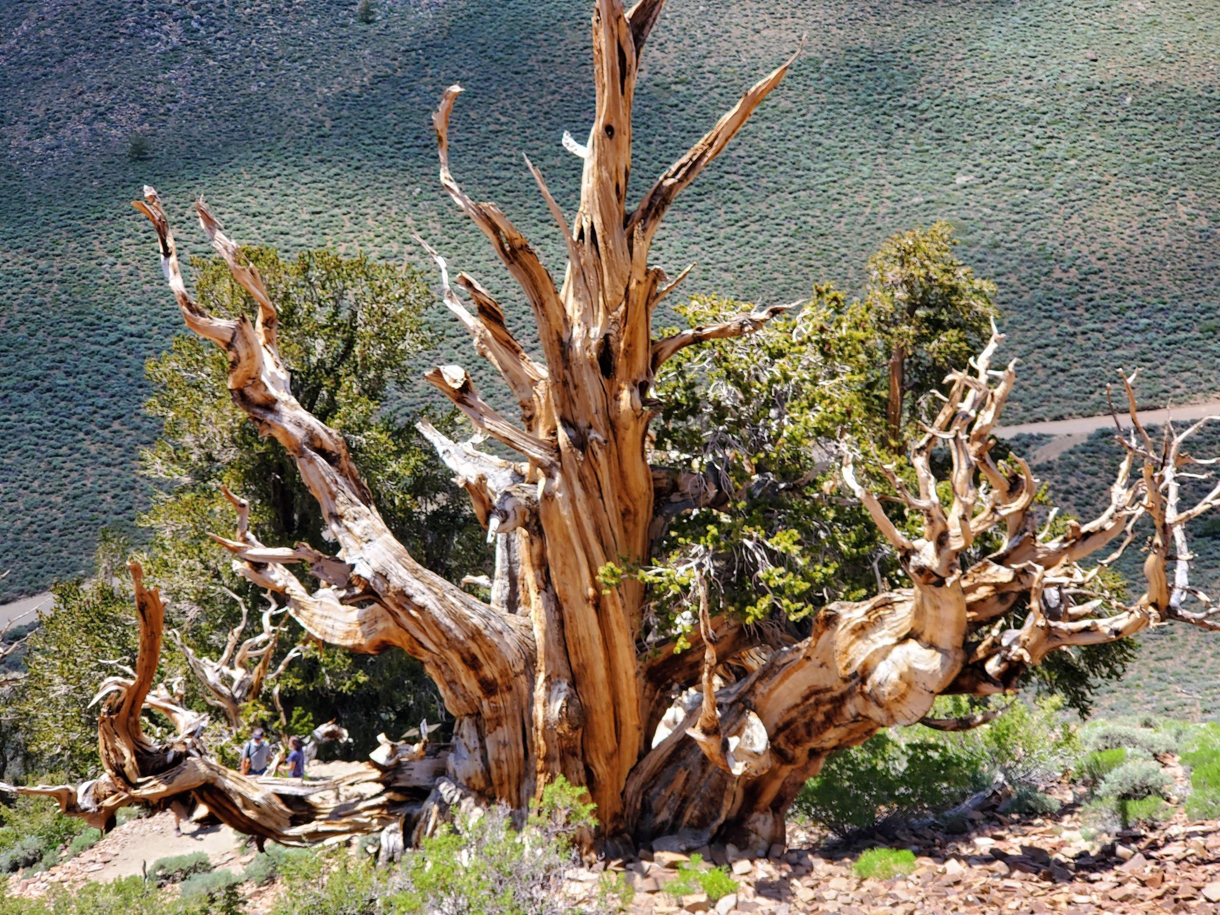 Bristlecone Pine ( Pinus longaeva )