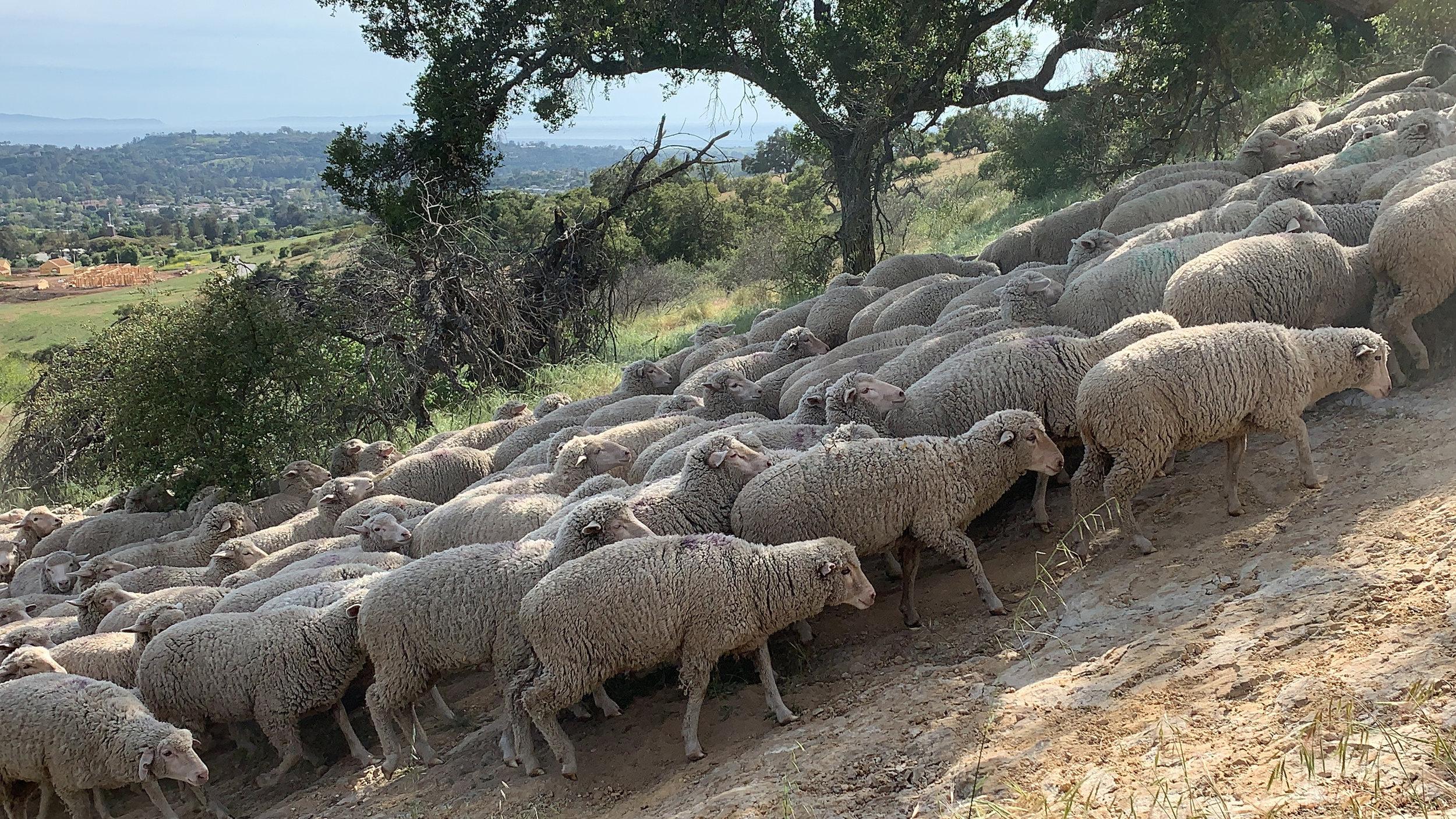 Sheep being herded between grazing areas.