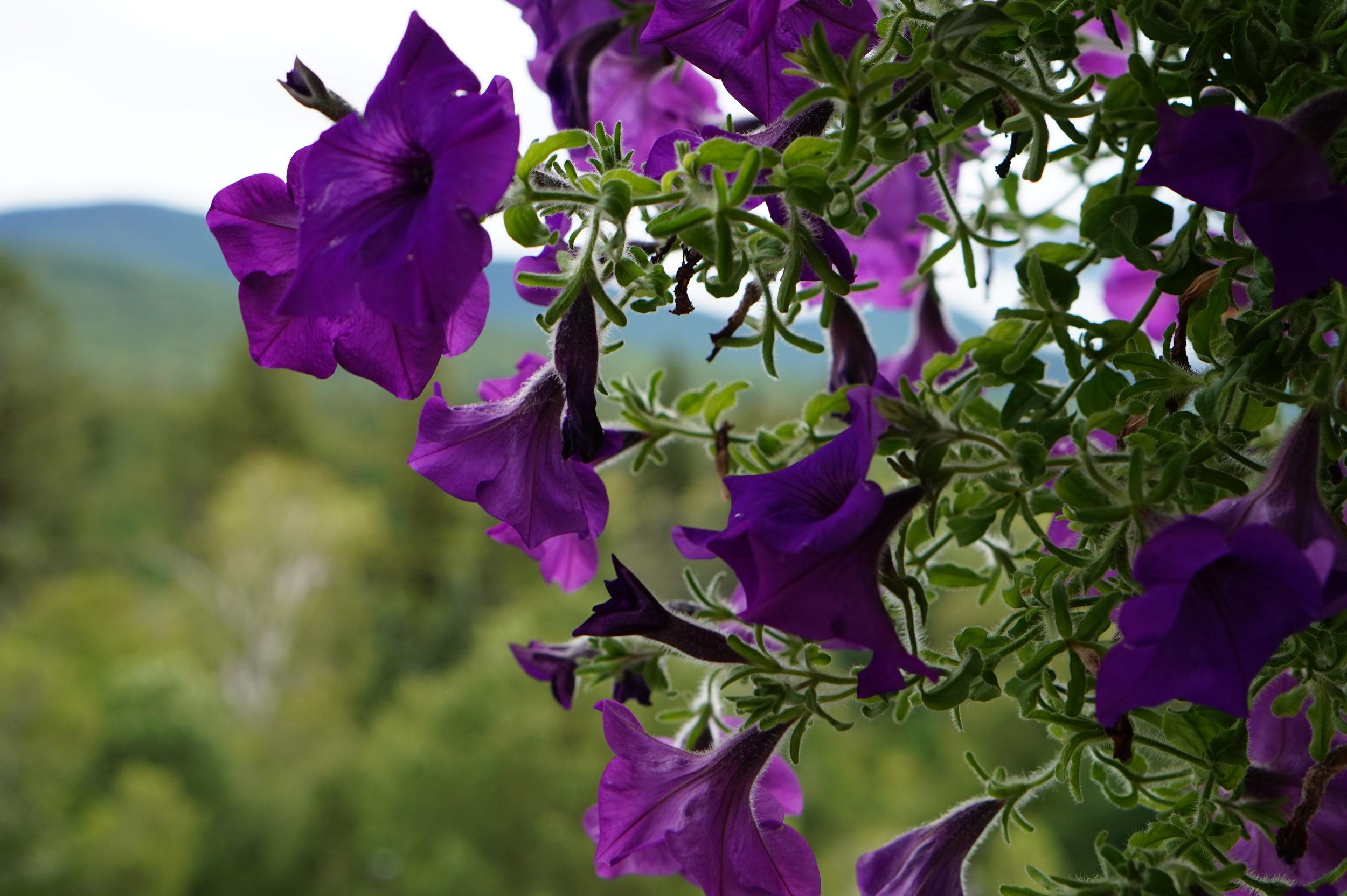 Hanging pot of petunias on the veranda.