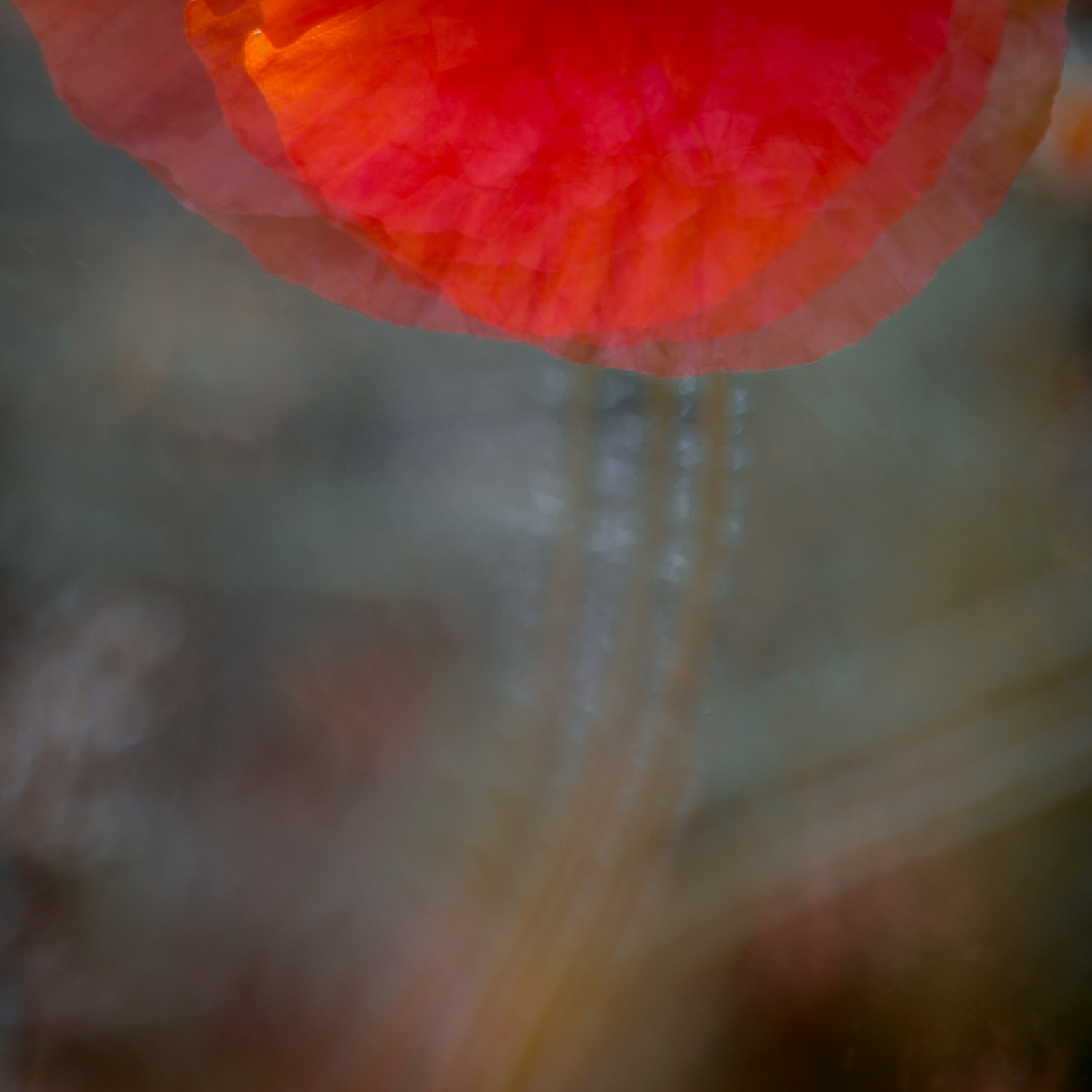 Portrait Of A Poppy - IV