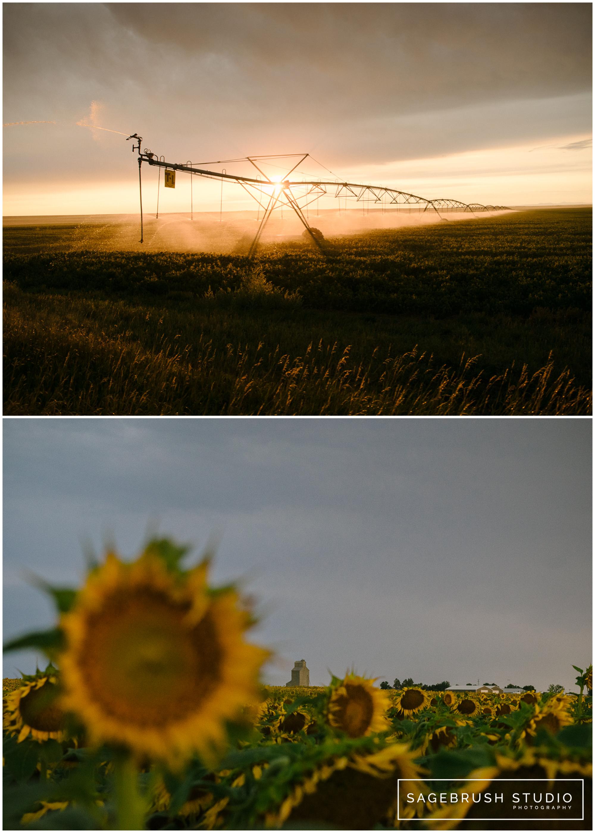 Sagebrush Studio. Sunflowers and Sunrise.