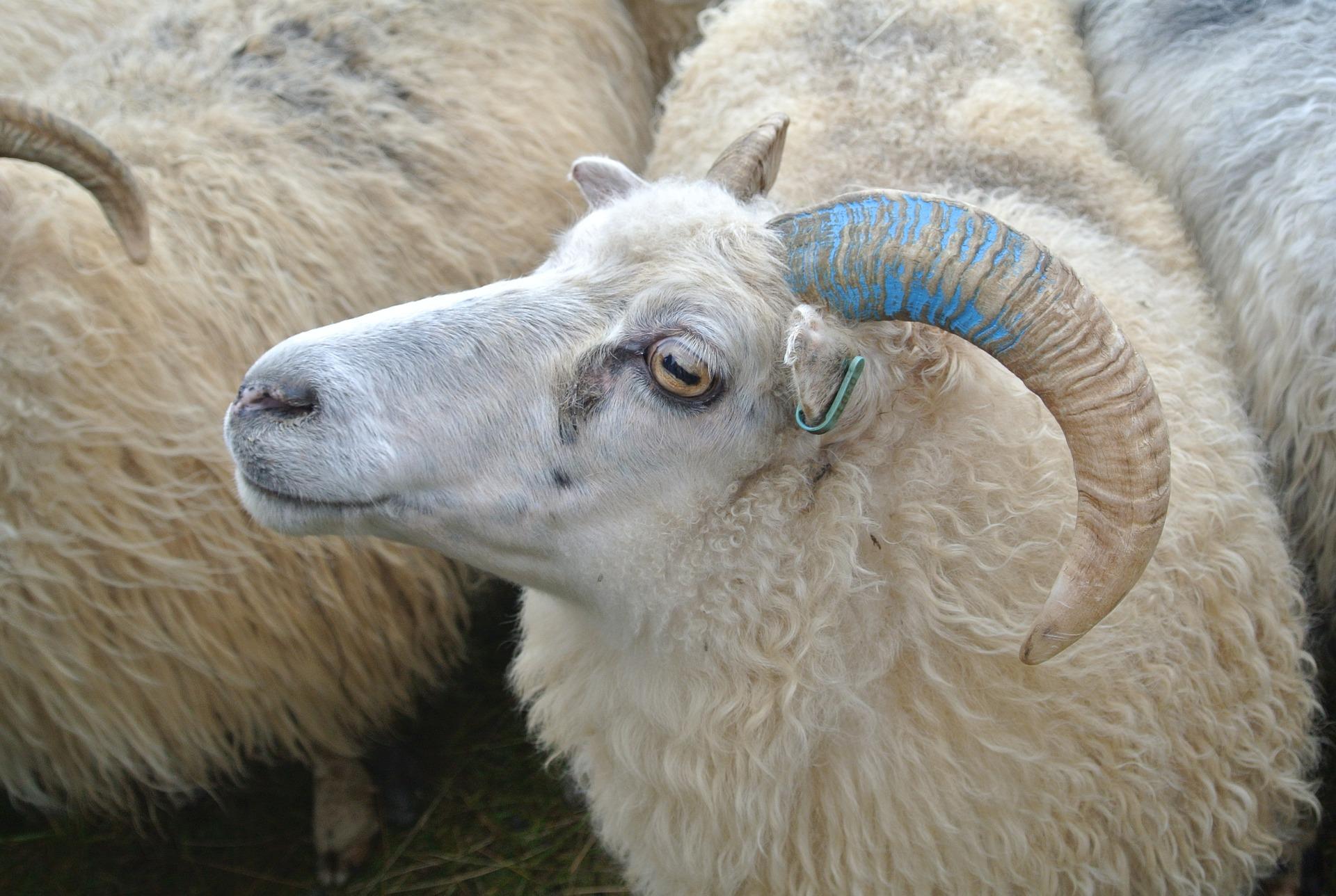 My sheep know my voice.